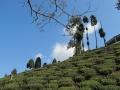 Tea garden near Mirik