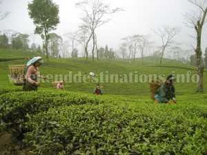 Tea Garden near Takdah