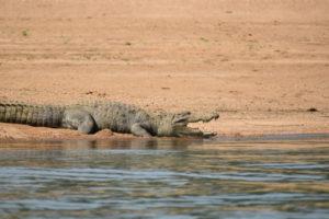 Satkosia Crocodile