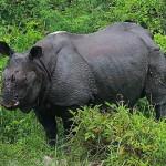 Rhino at Jaldapara