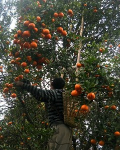 Orange picking in Sitong