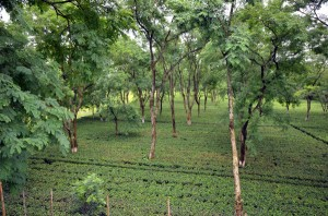 Mekhliganj Tea Garden