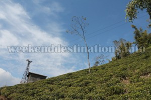 Tea gardens around Rongbull