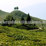 Singell Tea Estate
